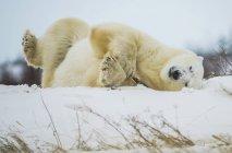 Eisbär (ursus maritimus) spielt mit einem Stock im Schnee; churchill, manitoba, canada — Stockfoto