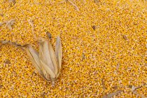 Kernels of corn harvested with the dried leaves laying on the pile; Minnesota, United States of America — Stock Photo