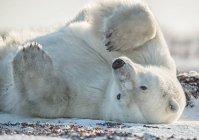 Polar bear ( Ursus maritimus ) in the snow on its back; Churchill, Manitoba, Canada — Stock Photo