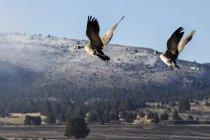 Канада гуси (казарки canadensis) взлетел в парке Стивенсон в зимний период; Аромат, штат Орегон, Соединенные Штаты Америки — стоковое фото