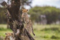 Ghepardo (Acinonyx jubatus) in un albero; Ndutu, Tanzania — Foto stock
