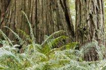 Редвуд дерев і папороті, Lady Bird Johnson Grove, Редвуд національних і державних парків; Orick, Сполучені Штати Америки — стокове фото