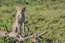 Chita (Acinonyx jubatus), em pé sobre uma árvore morta; Ndutu, Tanzânia — Fotografia de Stock