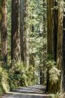 Secoyas y sendero, Jedediah Smith Redwoods State Park; Crescent City, California, Estados Unidos - foto de stock