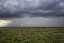 Гепард (Acinonyx jubatus), сидячи в траві під час шторму бушує на відстані; Ndutu, Танзанія — стокове фото