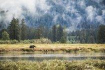Grizzli (Ursus arctos horribilis) marchant dans la zone de marée de la forêt pluviale du Grand Ours ; Hartley Bay, Colombie-Britannique, Canada — Photo de stock