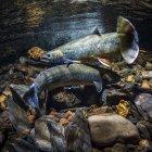 Dolly Varden (sul da forma; Salvelinus malma lordi) macho cruza uma fêmea como parte do cortejo em um fluxo do Alasca durante o outono; Alasca, Estados Unidos da América — Fotografia de Stock