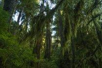 Exuberante follaje de los árboles de musgo cuelgan de las ramas, selva de Osa, Bahía de Hartley, Columbia Británica, Canadá - foto de stock