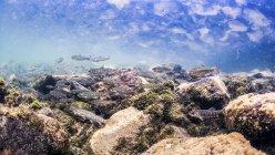 Juvenile dolly varden charr, nuoto sott'acqua — Foto stock