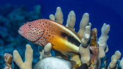 Pesce falco impiccato (Paracirrhites forsteri) appoggiato su corallo delle dita (Porites compressa) fotografato durante le immersioni subacquee sulla costa di Kona; Isola delle Hawaii, Stati Uniti d'America — Foto stock