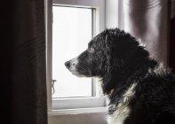 Dog looking out a window; Djupavik, West Fjords, Islândia — Fotografia de Stock