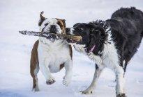 Собаки бегут во время игры с палкой в снегу; Джупавик, Западные Фьорды, Исландия — стоковое фото