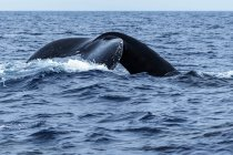 Scenic view of humpback whale showing tail over the water — Stock Photo