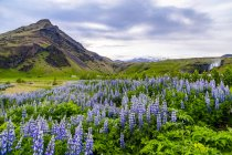 Field of lupines in vibrant color at sunset in front of a volcanic mountain, Iceland — Stock Photo