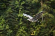 Great Blue Heron (Ardea herodias) in flight, Great Bear Rainforest; Hartley Bay, British Columbia, Canada — Stock Photo