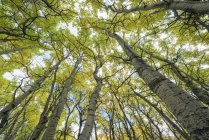 Aspen árboles en un bosque, cerca de Haines Junction, Yukon, Canadá - foto de stock