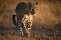 Close-up view of leopard running in grass, Maasai Mara National Reserve, Kenya — Stock Photo