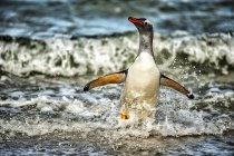 Funny Gentoo Penguin running out from water — Stock Photo