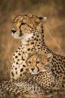 Guepardos poderosos giros em safári, reserva nacional de Masai Mara, no Quênia — Fotografia de Stock