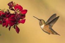 Крупным планом вид колибри в полете около цветок против размытый фон — стоковое фото