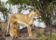 Maestosi leoni pelose in habitat naturale — Foto stock