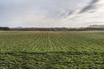 Farmed field with a flock of birds gathering in the distance, England — Stock Photo