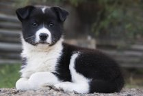Retrato de un cachorro cruzado Husky; Old Crow, Yukón, Canadá - foto de stock