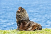 Leone marino sulla riva erbosa, Capo Bougainville, Isole Falkland — Foto stock