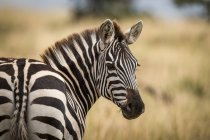 Close-up of plains zebra turning head around to look at camera — Stock Photo