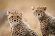 Милий могутній гепардів в safari, Масаї Мара Національний заповідник, Кенія — стокове фото