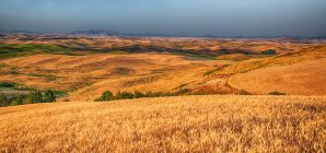 Cultures de céréales dorées sur collines vallonnées, panorama cousu, Washington, États-Unis — Photo de stock