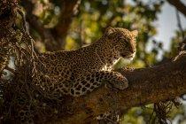 Primo piano del leopardo maestoso su albero ramo, riserva nazionale di Masai Mara, Kenya — Foto stock