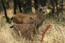 White-tailed deer at wild nature in the Cascade Siskiyou National Monument, Ashland, Oregon, United States of America — Stock Photo
