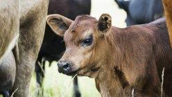 Nahaufnahme eines Kalbes mit einer Herde Kühe auf einem Feld mit langem Gras — Stockfoto