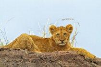 Leone maestoso peloso in habitat naturale — Foto stock