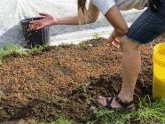 Hembra agricultora plantando brotes de guisantes; Upper Marlboro, Maryland, Estados Unidos de América - foto de stock