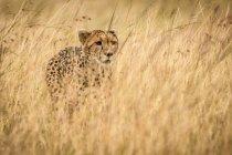 Ghepardo cute possente in safari, riserva nazionale di Masai Mara, Kenya — Foto stock