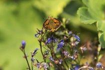 Schmetterling, der auf den Blumen ruht, Kaskade siskiyou Nationaldenkmal; Land, Oregon, vereinigte Staaten von Amerika — Stockfoto