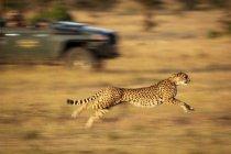 Mignon guépard puissant dans safari, réserve nationale de Masai Mara, Kenya — Photo de stock