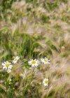 Scentless fiori di camomilla (Anthemis arvensis) ed erba di orzo (Hordeum jubatum) coda di volpe crescono selvatiche; Stony Plain, Alberta, Canada — Foto stock