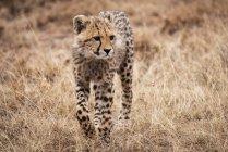 Селективный фокус выстрел величественного гепарда в дикой природе — стоковое фото