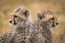 Симпатичные и величественные гепарды в дикой природе — стоковое фото