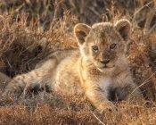 Vista cénico do leão majestoso pequeno bonito na natureza selvagem — Fotografia de Stock