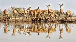Bella carina Impala al posto di innaffiamento in natura selvaggia — Foto stock