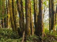 Dickes Moos hängt von Bäumen in einem Regenwald in der Nähe des Cowichan Sees, British Columbia, Kanada — Stockfoto