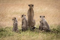 Cheetahs carino e maestoso in natura selvaggia — Foto stock