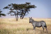 Равнины зебры стоял в траве возле дерева в дикой жизни — стоковое фото