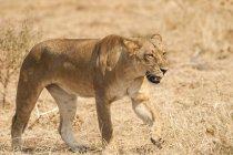 Vista cénico do leão majestoso na natureza selvagem — Fotografia de Stock