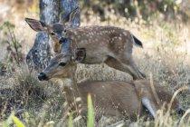 Hermoso ciervo de cola blanca en hábitat natural - foto de stock