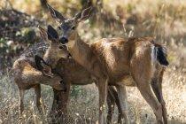 Beautiful white-tailed deer in natural habitat — Stock Photo